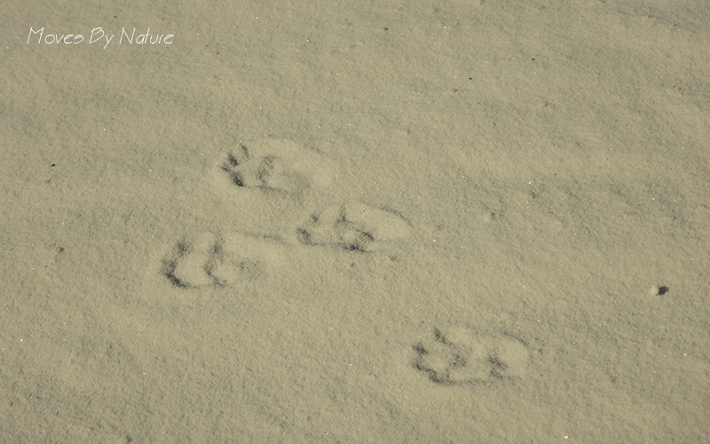 White sand with four animal prints