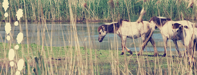 Through reeds we see three horses close to the water