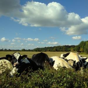 haarzuilens - cow
