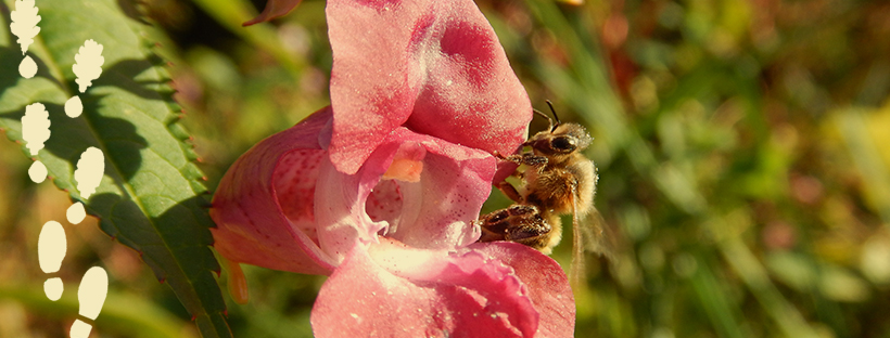 Bee sitting on a pink flower