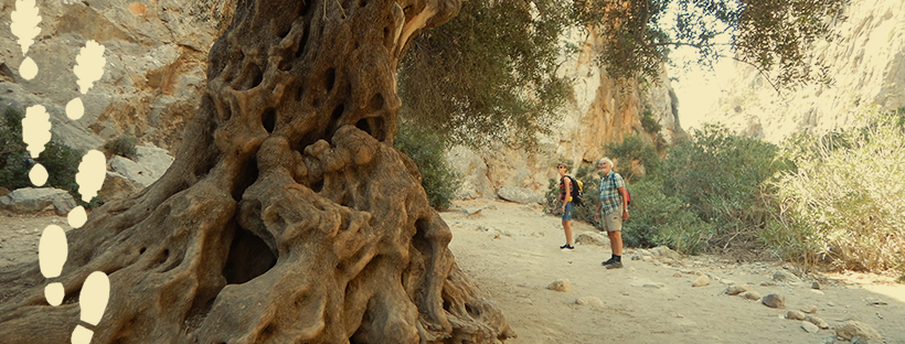 The trunk of a very old olive tree with two hikers viewing it
